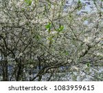 snow white branches of blooming ... | Shutterstock . vector #1083959615