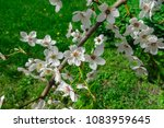 snow white branches of blooming ... | Shutterstock . vector #1083959645
