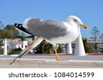 Small photo of Black-backed gull stretching