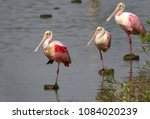 Group Of Three Spoonbills  Wit...