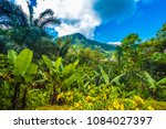 wild banana tree flower in the  ... | Shutterstock . vector #1084027397