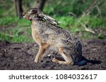 hare on meadow | Shutterstock . vector #1084032617