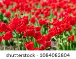 field of red tulips in spring... | Shutterstock . vector #1084082804