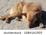 stray red dog mongrel dog lying on the road, on the yellow ear clip to the animal, the dog is safe for the environment