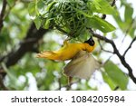 Southern Masked Weaver Birds...