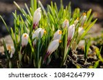 white crocuses growing on the... | Shutterstock . vector #1084264799