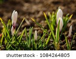 white crocuses growing on the... | Shutterstock . vector #1084264805