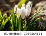 white crocuses growing on the... | Shutterstock . vector #1084264811