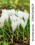 white crocuses growing on the... | Shutterstock . vector #1084264829