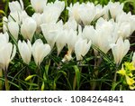 white crocuses growing on the... | Shutterstock . vector #1084264841