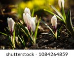 white crocuses growing on the... | Shutterstock . vector #1084264859