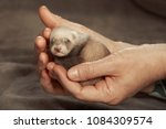 human breeder of ferrets holds... | Shutterstock . vector #1084309574