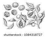 nutmeg spice vector drawing.... | Shutterstock .eps vector #1084318727