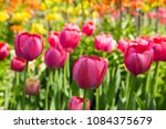 colourful fresh spring tulips... | Shutterstock . vector #1084375679