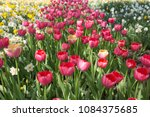 colourful fresh spring tulips... | Shutterstock . vector #1084375685