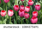 colourful fresh spring tulips... | Shutterstock . vector #1084375691