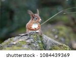 red squirrel on a log in a... | Shutterstock . vector #1084439369