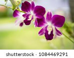 purple with pink orchids on... | Shutterstock . vector #1084469291
