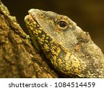 Small photo of Portrait of a beautiful lizard Uromastyx acantinurus