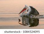 dalmatian pelican wildlife | Shutterstock . vector #1084524095