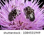 Small photo of Oxythyrea funesta a phytophagous beetle species (family Cetoniidae) feeding on the floral organs of a thistle (Cirsium monspessulanum)