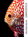 red checkerboard discus | Shutterstock . vector #1084535519