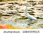 Egret stand  in the marsh.