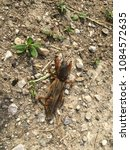 Small photo of Mole cricket in the dirt