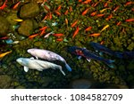 koi fish two big wight and... | Shutterstock . vector #1084582709