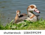 Adult Egyptian Goose  Closely...