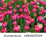 colorful fresh spring tulips... | Shutterstock . vector #1084605539