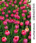 colorful fresh spring tulips... | Shutterstock . vector #1084605545