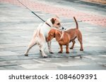 Two Dogs A Dachshund And A Jac...