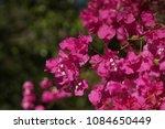 flowering bush branch of... | Shutterstock . vector #1084650449