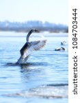 swan at the lake waves wings . | Shutterstock . vector #1084703444