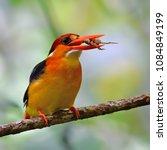beautiful bird  oriental dwarf...   Shutterstock . vector #1084849199