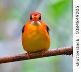 beautiful bird  oriental dwarf...   Shutterstock . vector #1084849205