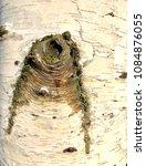 Small photo of Paper birch trunk - Betula papyrifera
