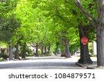 Small photo of Tall Liquid amber, commonly called sweet gum tree, or American Sweet gum tree, lining an older neighborhood in Northern California. Spring, summer beginning. trees vibrant green. Stop sign on corner