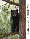 Large Black Bear Treed In A...