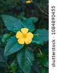 Small photo of Closeup of a yellow damiana flower with green leafs switzerland