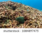 a lonely moray eel sticks out... | Shutterstock . vector #1084897475