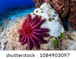 Small photo of A Crown of Thorns Starfish feeds on a bleached, dead hard coral on a tropical reef.