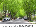 Small photo of Tall Liquid amber, commonly called sweet gum tree, or American Sweet gum tree, lining an older neighborhood in Northern California. Spring, summer beginning. trees vibrant green.