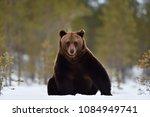 Brown Bear Sitting On Snow....