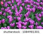 violet tulips flowers field.... | Shutterstock . vector #1084981301