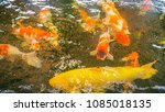 carp  carp is swimming in a... | Shutterstock . vector #1085018135