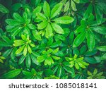 close up of fresh green leaves... | Shutterstock . vector #1085018141