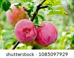 perfect red apples hanging on... | Shutterstock . vector #1085097929