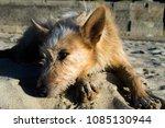 as dog sleeping on the beach | Shutterstock . vector #1085130944